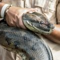 Anaconda to Swallow Man Live on Air