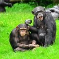 Chimpanzees Communicate with 19 Gestures